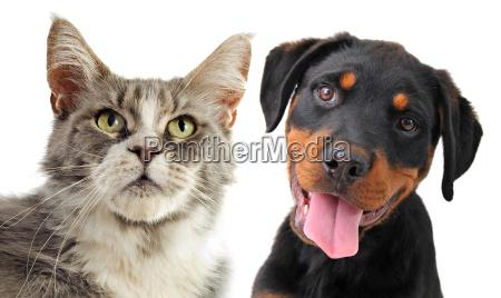 cane cucciolo rottweiler gatto gatta