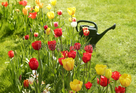 tulip bed with watering can