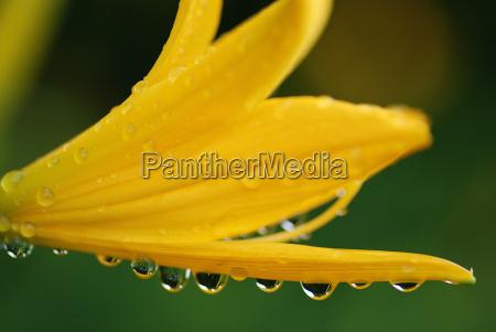 verde fioritura gocce dacqua acqua giallo