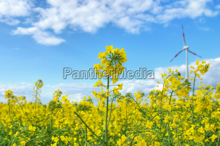 rapeseed field in front of blue