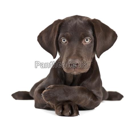 puppy su sfondo bianco