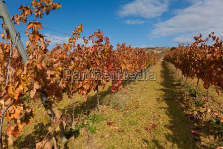 colore agricoltura luce soleggiato vino vigneti