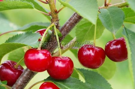albero ramo ciliegia ciliegio amarena