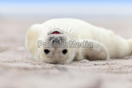 pup di guarnizione con pelliccia bianca