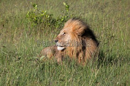parco nazionale kenia leone gatto safari