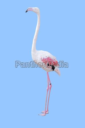 isolated flamingo