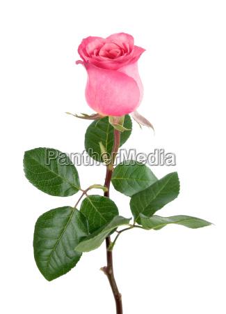 fiore rosa fioritura caucasico bianco festa
