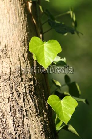 foglia tronco corteccia floreale edera