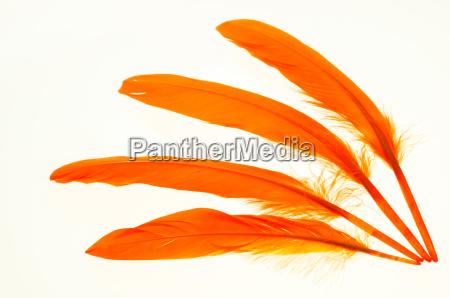 rilasciato colore penne piume appartato piumaggio