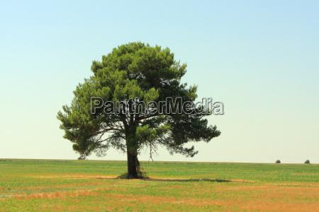 albero pino campo distanza larghezza estensione