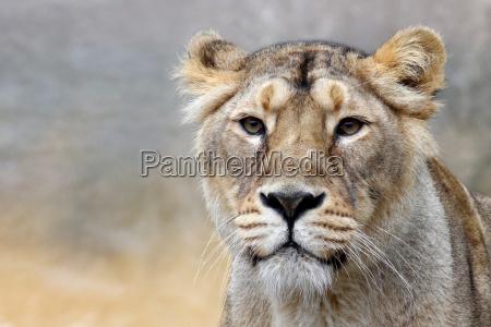 panthera leo il leone the