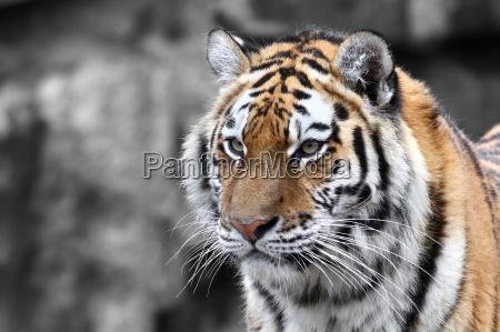panthera, tigris, -, la, tigre, (the - 8745136