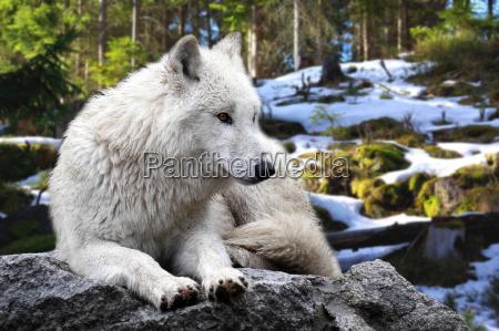 ambiente animale animali natura lupo lupi