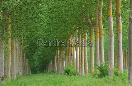 popappelwald populus forest 10