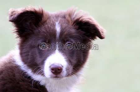 border collie 3 mesi