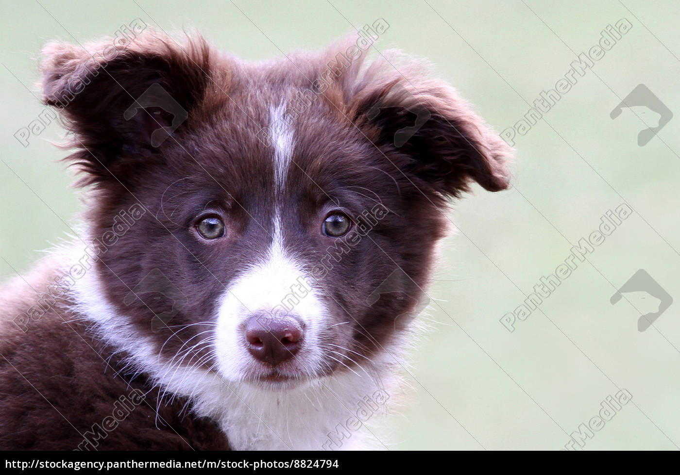 border, collie, 3, mesi - 8824794