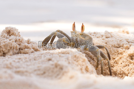 tropical crustacean on the beach