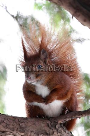 animale animali pino natura scoiattolo