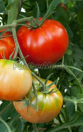 bio giardino estate biologico giardini pomodoro