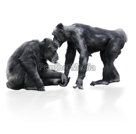 primo piano animale fauna nero scimpanze