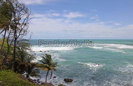 palma caraibico palme