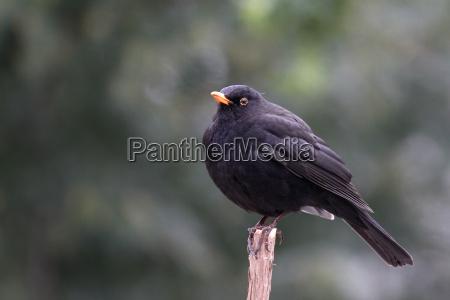 uccello animali uccelli merlo uccello canoro