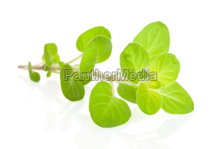 foglia spezia aromatico cavolo erba aromatizzare