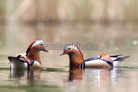 uccello animali uccelli anatre anatra