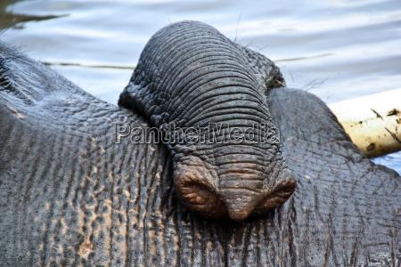 zanna di elefante indiano nel campo