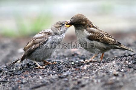 animale uccello animali uccelli passero passeri