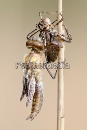 la nascita di una libellula