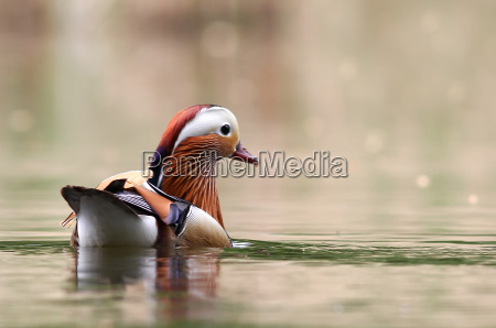 aix galericulata mandarin duck