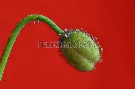 bocciolo di papavero