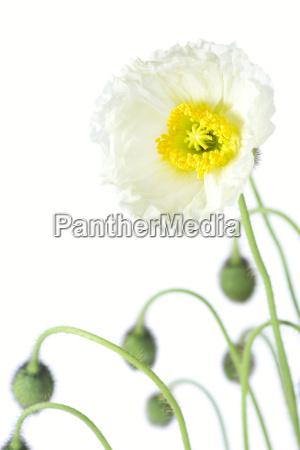 fiore papavero pallido