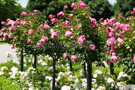 bastone rosa con rose rosa