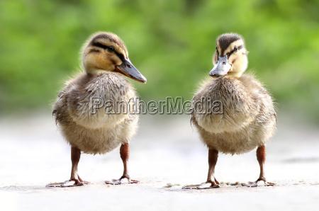 anas platyrhynchos lanatra the duck