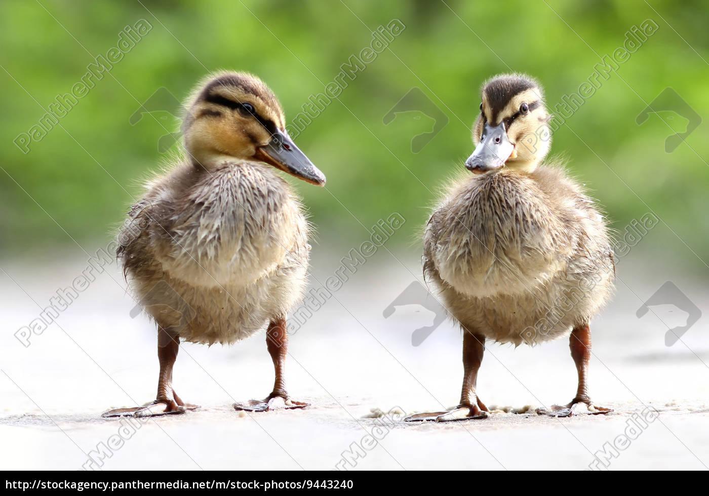 anas, platyrhynchos, -, l'anatra, (the, duck) - 9443240