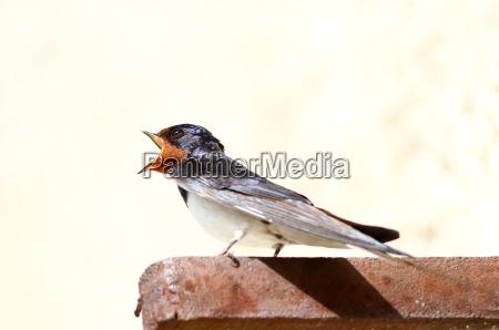 ambiente uccello animali uccelli rondine rondini