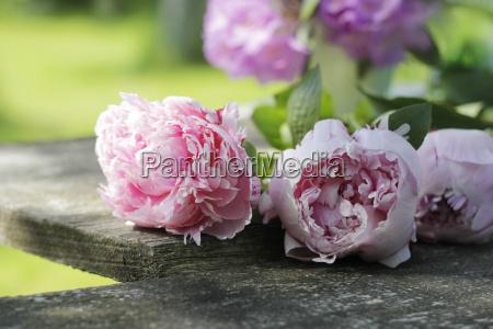 peonies on old garden table