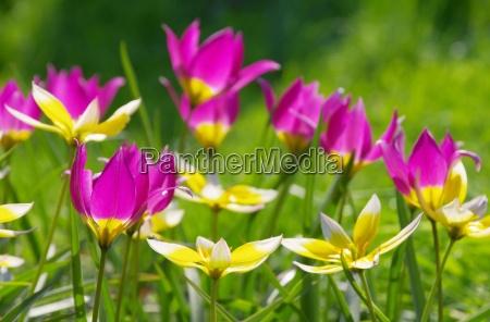 fiore verde selvaggio porpora impianto tulipano