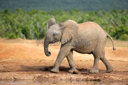 mammifero africa elefante natura sudafrica africano