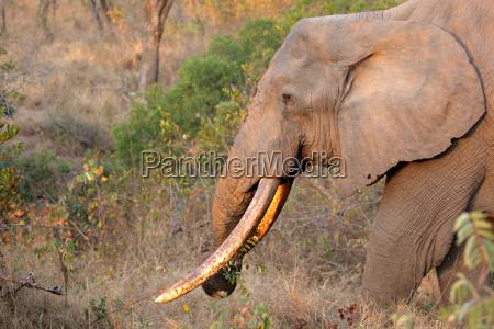 elefante avorio zanna natura africano