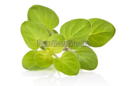 foglie aromatico culinario maggiorana stagionale fresco