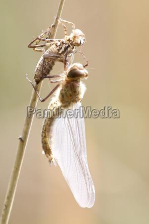 animale animali libellula natura libellule