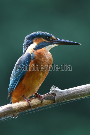 animale uccello uccelli martin pescatore