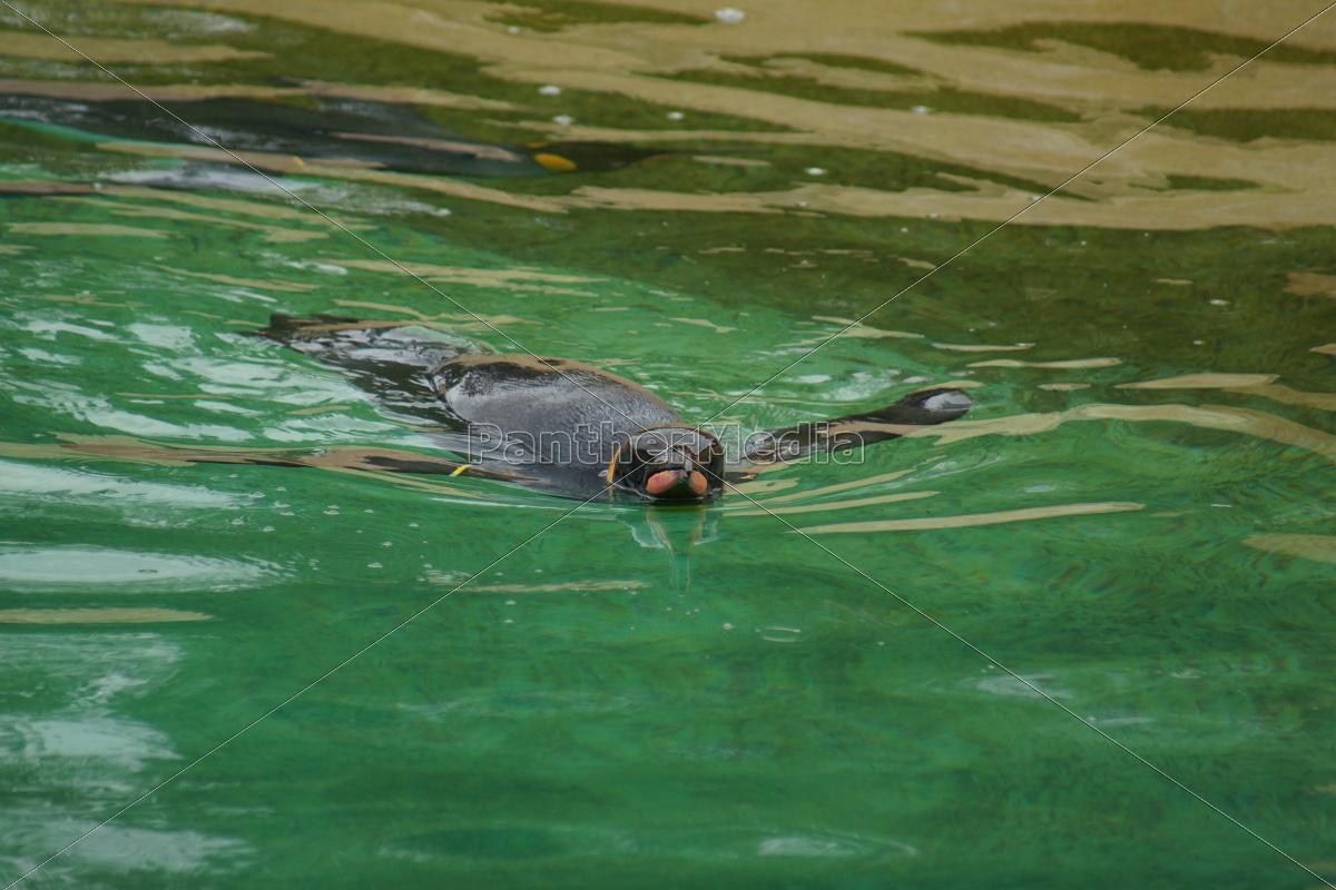 pinguino, del, re, -, aptenodytes, patagonicus - 9757808
