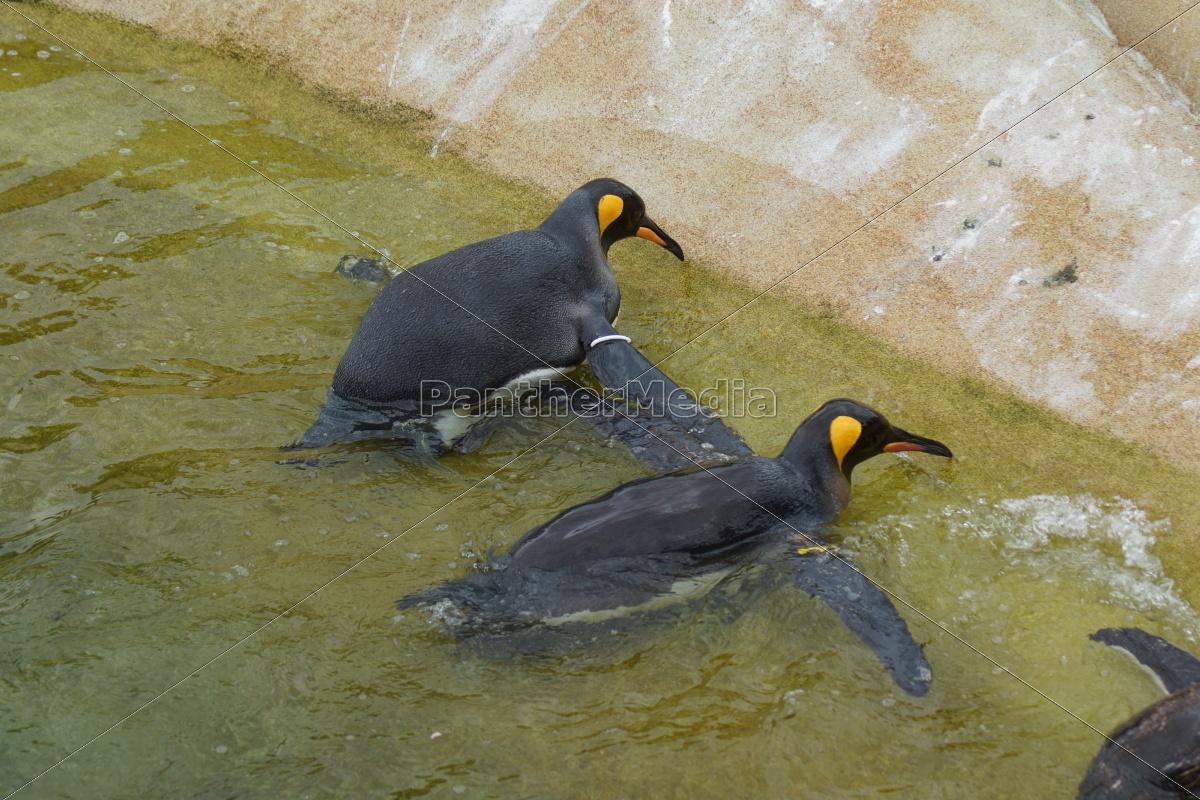 pinguino, del, re, -, aptenodytes, patagonicus - 9758022