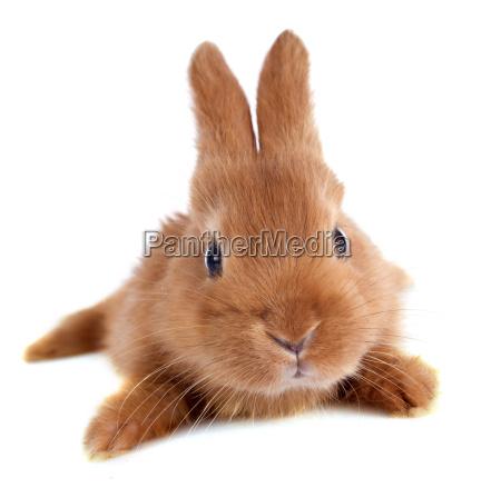 giovane coniglio
