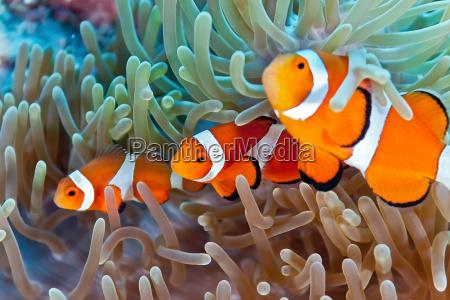 pesce sottacqua natura tropicale anemone