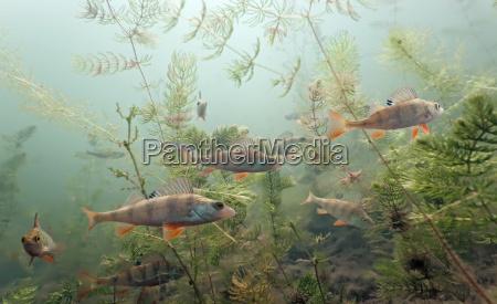 pesce sottacqua natura acqua dolce lago
